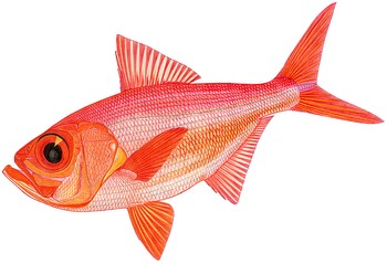 Illustration of Alfonsino
