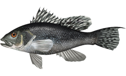 Illustration of Black Sea Bass