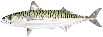Illustration of Mackerel