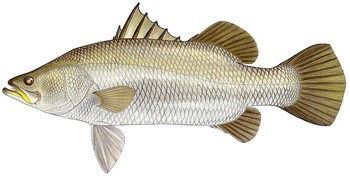 Illustration of Barramundi