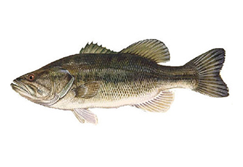 Illustration of Bass