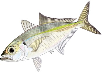 Illustration of Scad