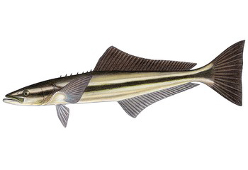 Illustration of Cobia