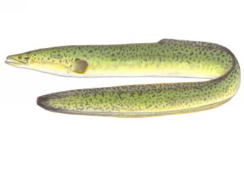 Illustration of Eel
