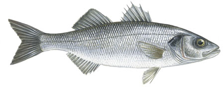 Illustration of Sea bass, European
