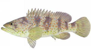 Illustration of Grouper