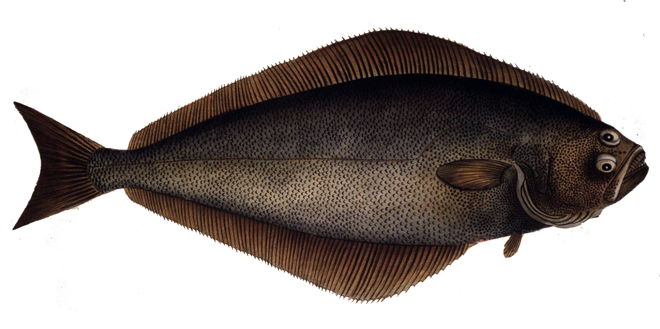 Illustration of Halibut