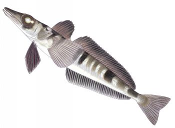 Illustration of Icefish