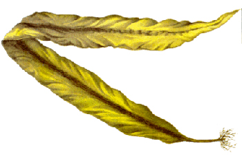 Illustration of Seaweed