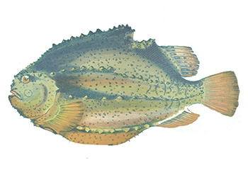 Illustration of Lumpfish