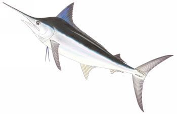 Illustration of Marlin