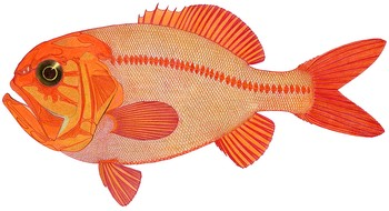 Illustration of Orange Roughy