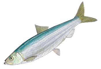 Illustration of Herring