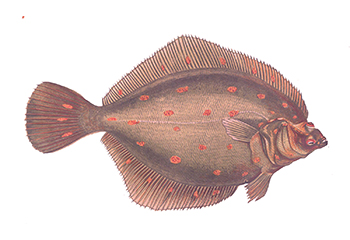 Illustration of Plaice