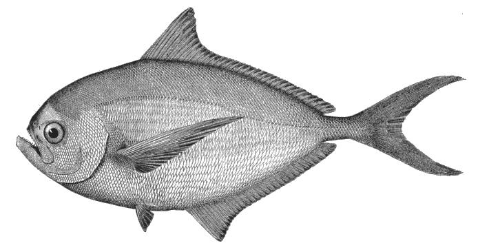 Illustration of Pomfret