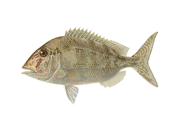 Illustration of Porgy
