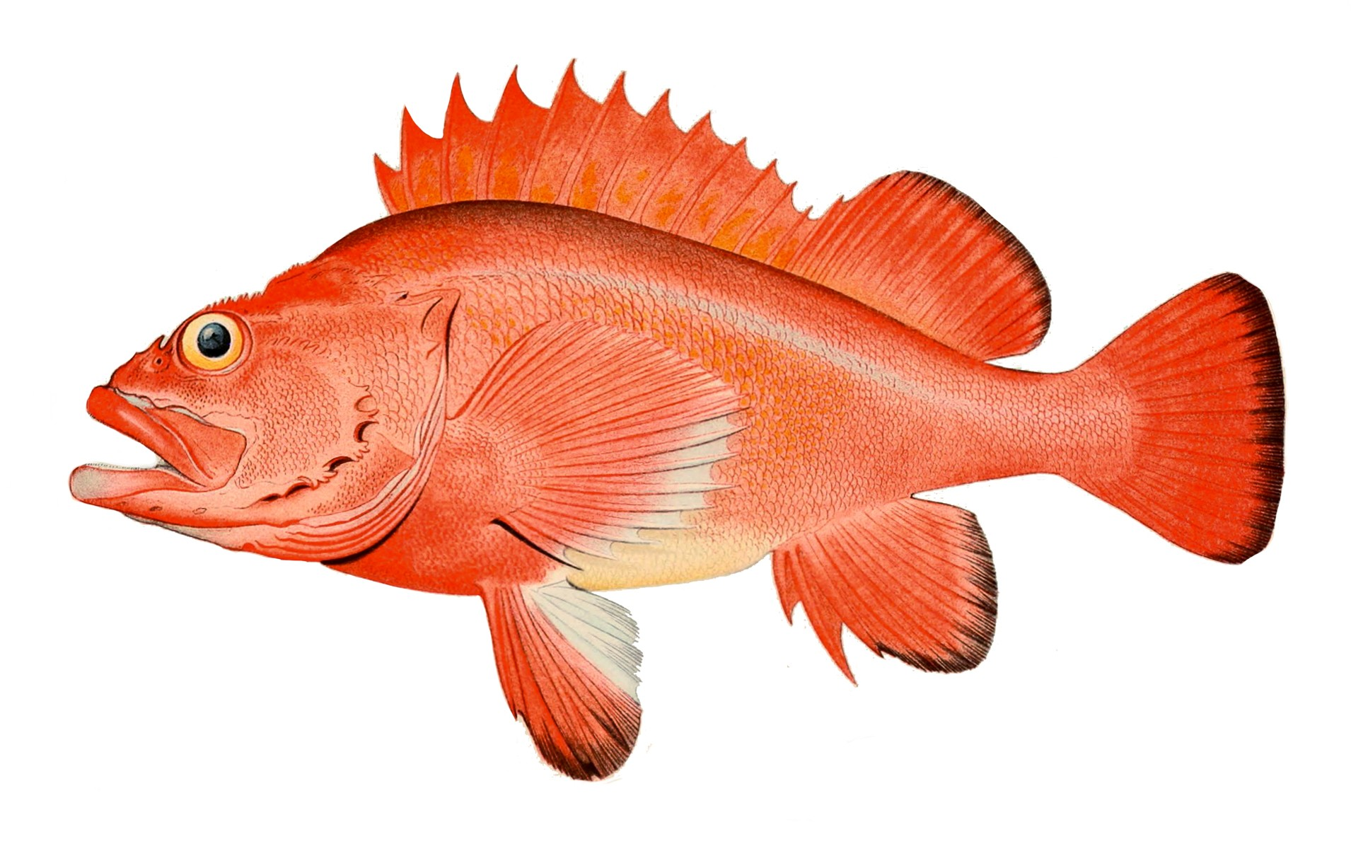 Illustration of Rockfish