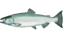 Illustration of Salmon (Chinook)