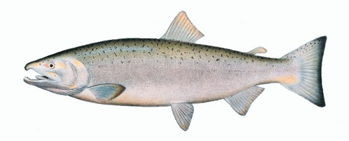 Illustration of Salmon (Coho)