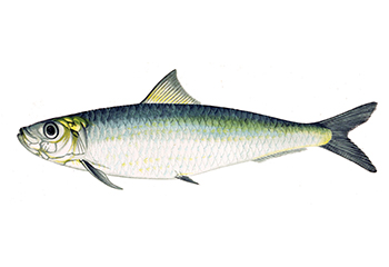 Illustration of Sardine