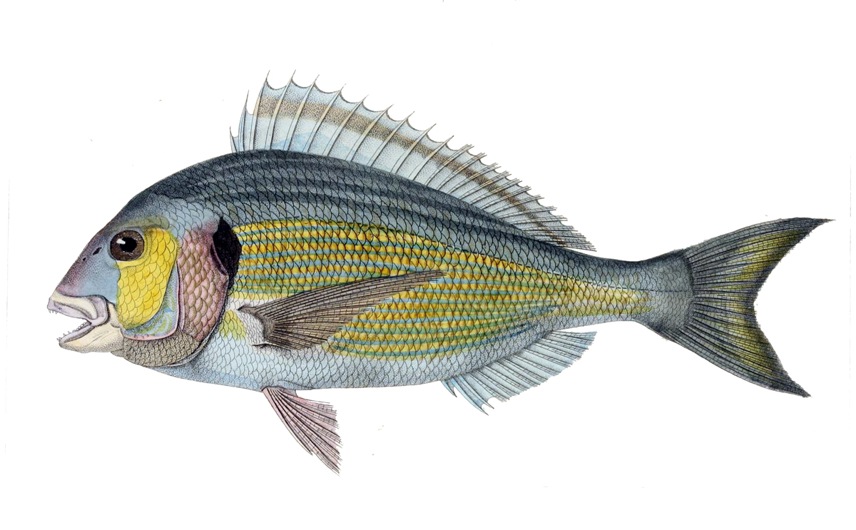 Illustration of Sea Bream