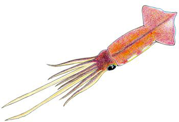 Illustration of Squid