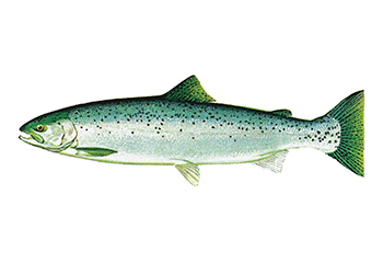 Illustration of Steelhead