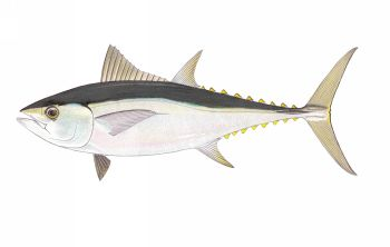 Illustration of Tuna (Tongol)