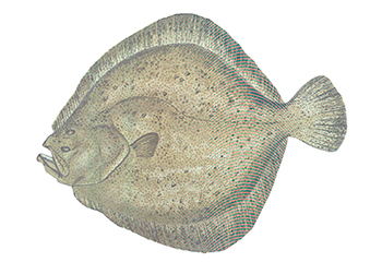 Illustration of Turbot
