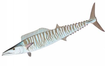Illustration of Wahoo