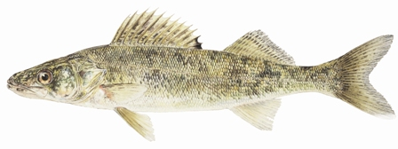 Illustration of Walleye