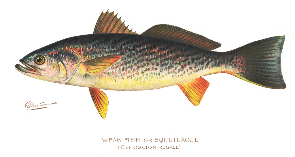Illustration of Weakfish