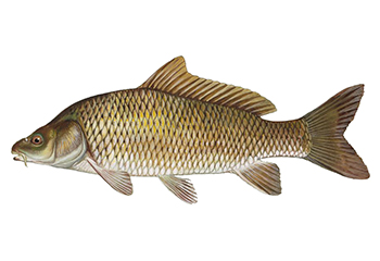 Illustration of Carp