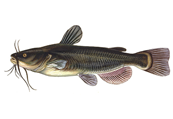 Illustration of Catfish