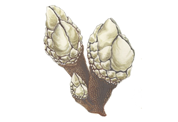 Illustration of Barnacle