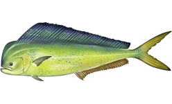 Illustration of Mahi Mahi