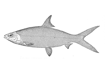 Illustration of Milkfish