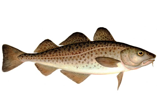 Illustration of Cod