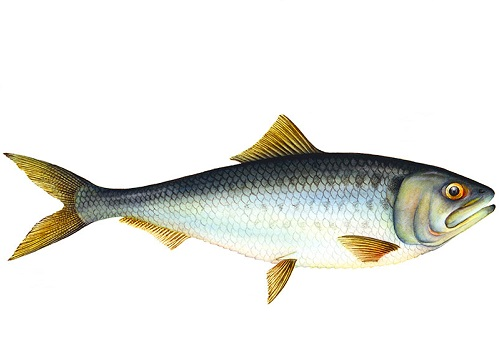 Illustration of Shad