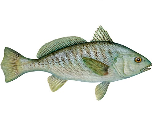 Illustration of Croaker
