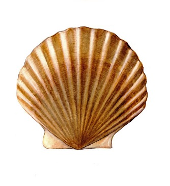 Illustration of Scallop