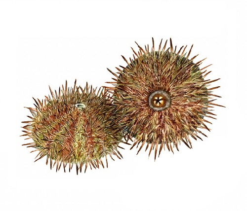 Illustration of Urchin
