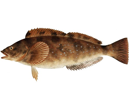 Illustration of Greenling