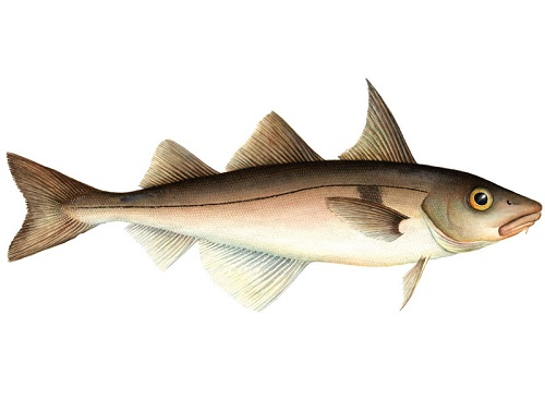 Illustration of Haddock