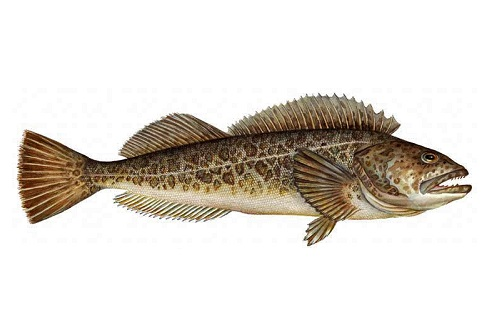 Illustration of Lingcod