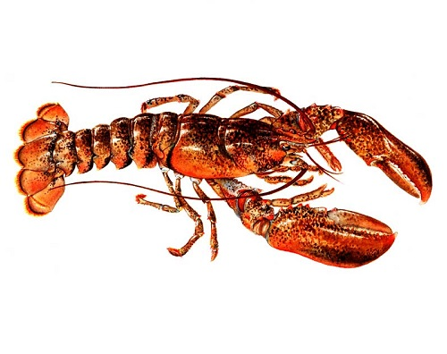 Illustration of Lobster
