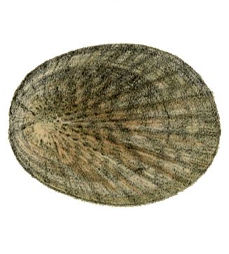 Illustration of Limpet