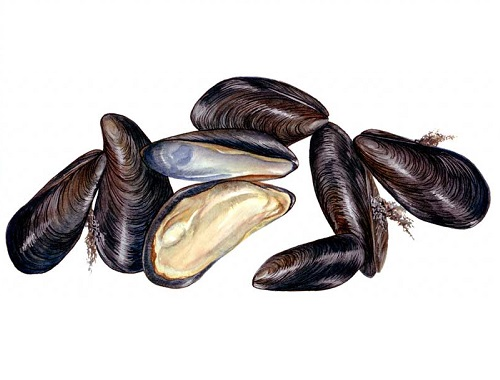Illustration of Mussels