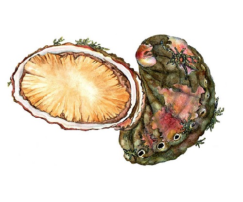 Illustration of Abalone