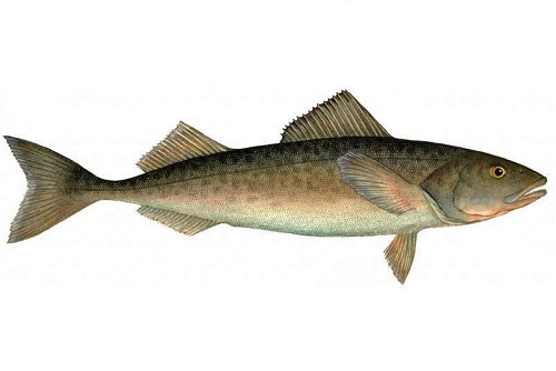 Illustration of Sablefish